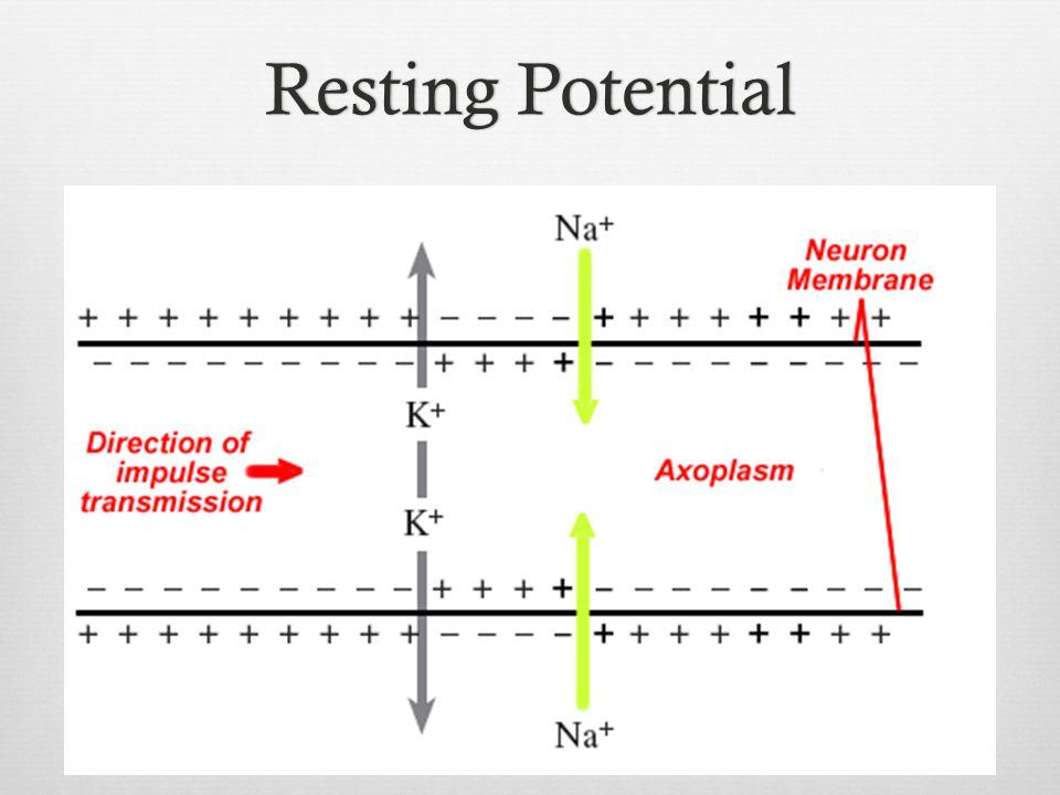 Resting PotentialResting Potential