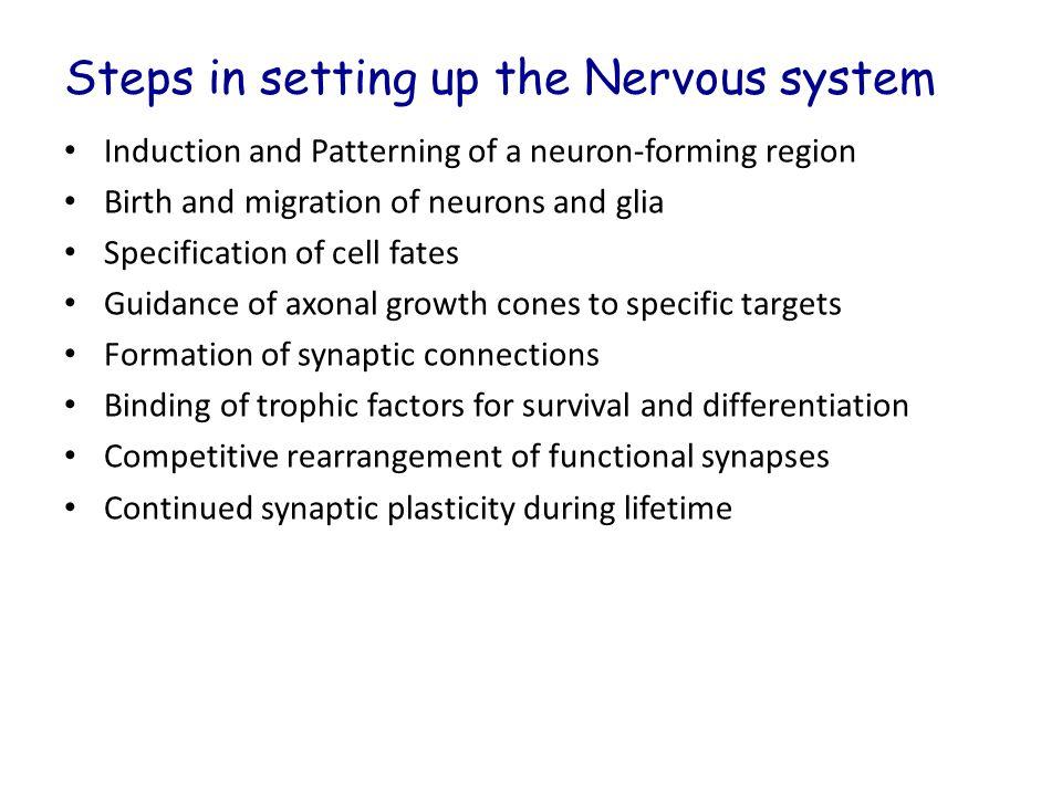 Neuronal development Ectoderm differentiation: Epidermis, nerve tissue, or neural crest cells.