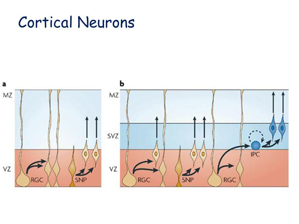 Cortical Neurons