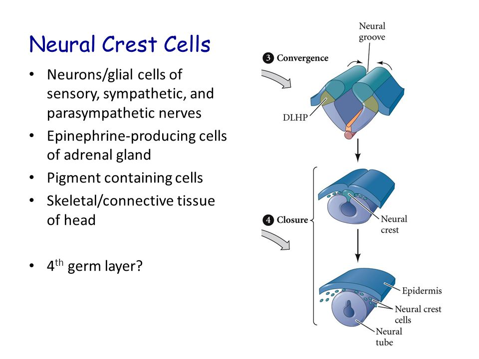 Neural Crest Cells Neurons/glial cells of sensory, sympathetic, and parasympathetic nerves Epinephrine-producing cells of adrenal gland Pigment containing cells Skeletal/connective tissue of head 4 th germ layer?