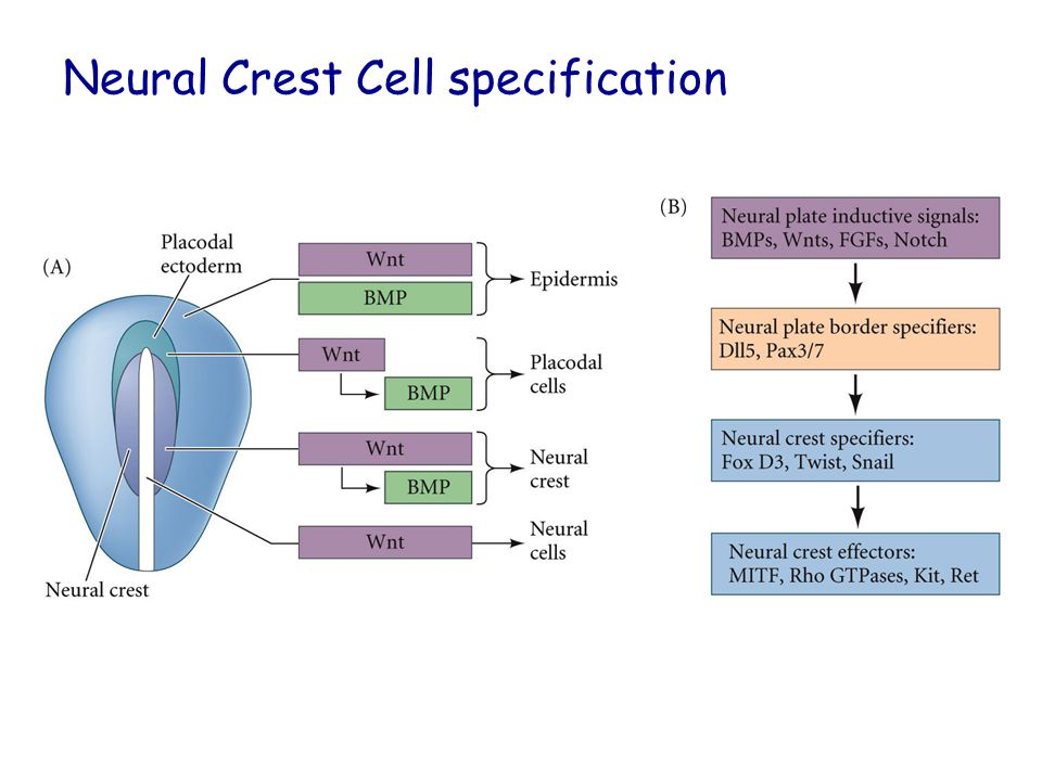 Neural Crest Cell specification