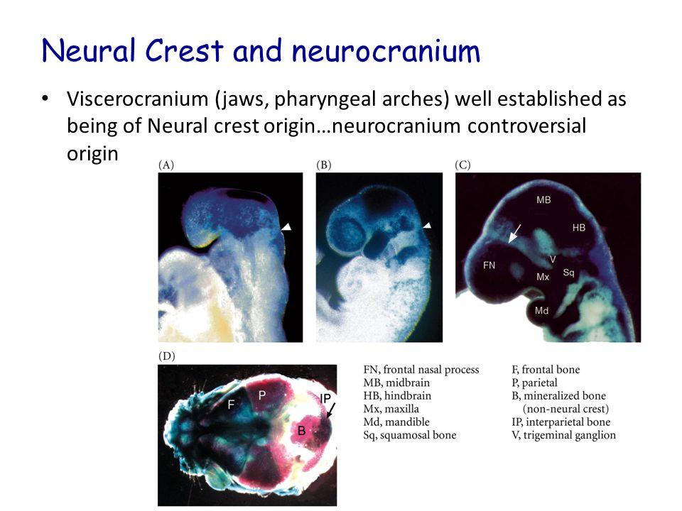 Neural Crest and neurocranium Viscerocranium (jaws, pharyngeal arches) well established as being of Neural crest origin…neurocranium controversial origin