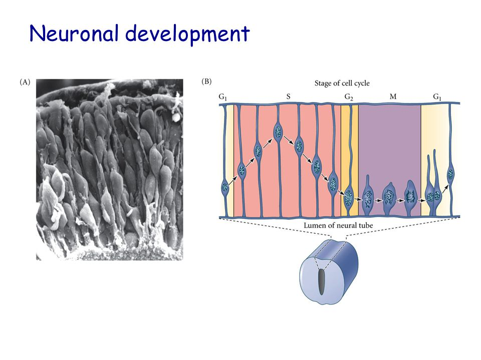 Nerve Outgrowth Filapodia-based movements Rely on Cytoskeleton and factors that rearrange the cytoskeleton (GTPases).