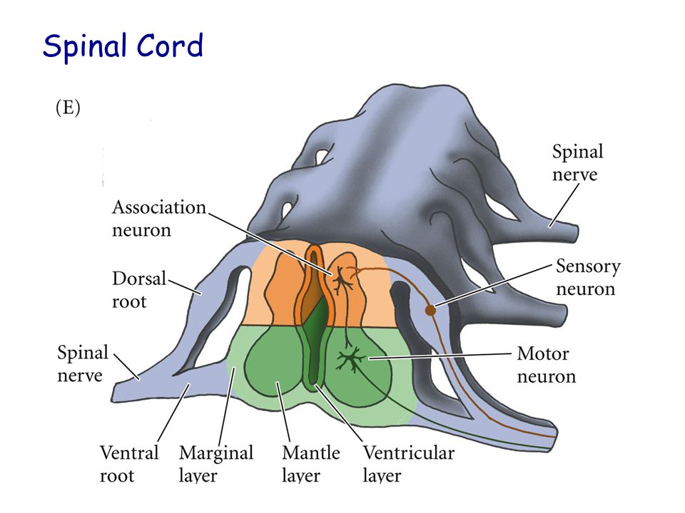 Cerebellum Important for motor control Purkinje fibers BMP and Granular layer