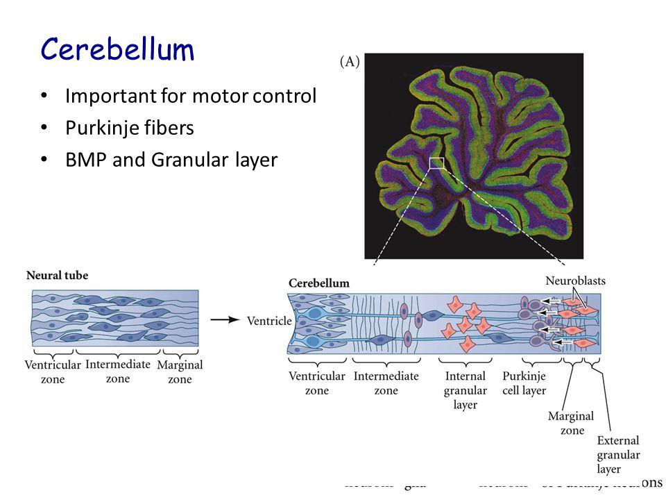 Ventral Migration of Neural Crest