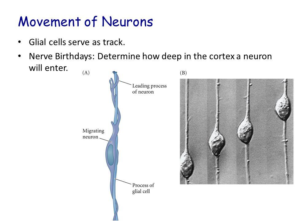 Cerebrum Similar to Cerebellum Neocortex: subdivided into 6 layers (old cells closest to ventricular zone).