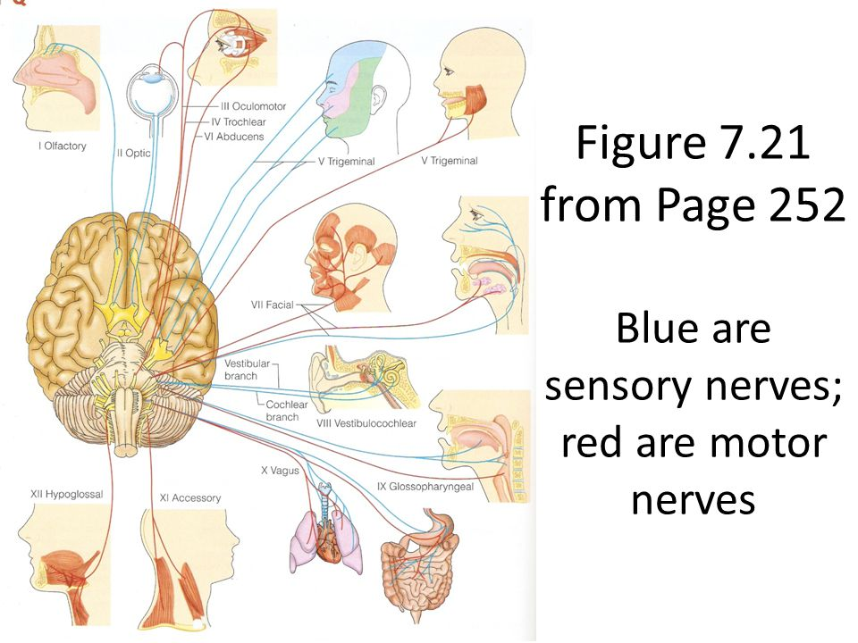 Figure 7.21 from Page 252 Blue are sensory nerves; red are motor nerves