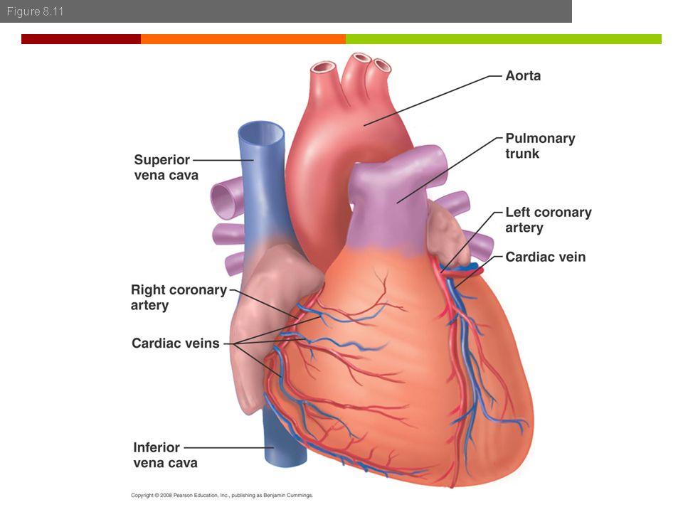  Coronary artery disease  Myocardial ischemia  Myocardial hypoxia  Myocardial infarct  Myocardial necrosis