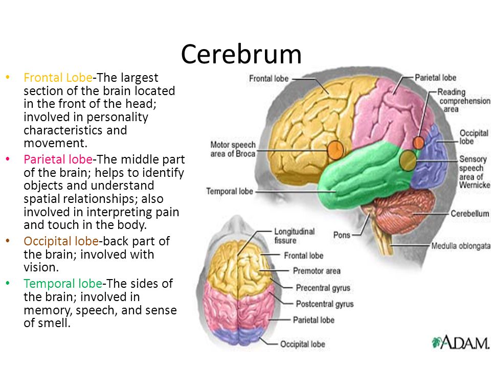 Cerebrum Frontal Lobe-The largest section of the brain located in the front of the head; involved in personality characteristics and movement. Parieta