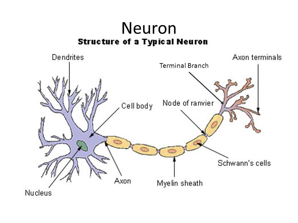 Neuron Terminal Branch