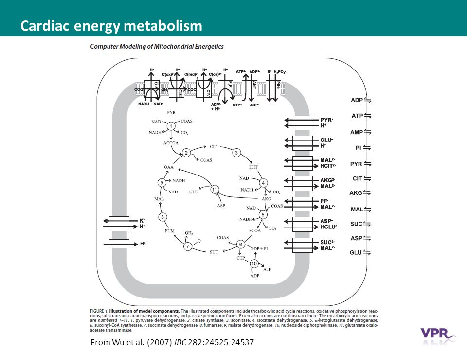 ___ __ ___ ____ __ _________ _______ __ _____ _______ Cardiac energy metabolism From Wu et al.
