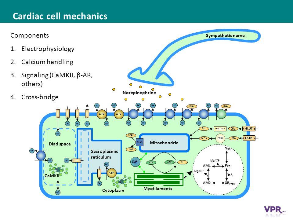 ___ __ ___ ____ __ _________ _______ __ _____ _______ Cardiac cell mechanics Mitochondria Sacroplasmic reticulum Cytoplasm Myofilaments P XB AM1 XB PreR AM2 N XB MgATP MgADP PiPi ATP ADP PiPi + Ca 2+ Na + Ca 2+ Na + K+K+ Ca 2+ Na + K+K+ ATP Ca 2+ ATP K+K+ Na + Ca 2+ ATP Ca 2+ Diad space GLUT Glc FATP FFA Glycolysis FACS Pyr FACoA H+H+ Na + Cl - HCO 3 - OH - Cl - HCO 3 - Na + MAS NAD NADH Sympathetic nerve Ca 2+ Components 1.Electrophysiology 2.Calcium handling 3.Signaling (CaMKII, β-AR, others) 4.Cross-bridge Norepinephrine CaMKII