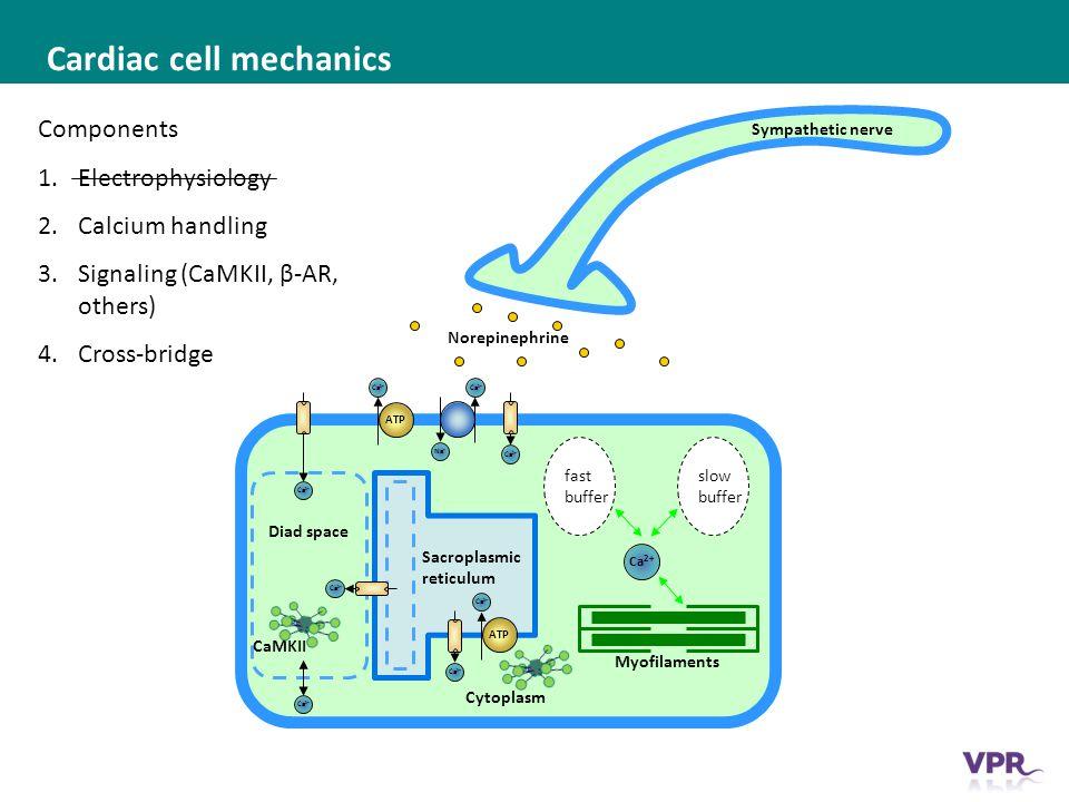___ __ ___ ____ __ _________ _______ __ _____ _______ Cardiac cell mechanics Cytoplasm slow buffer Na + Ca 2+ ATP Ca 2+ ATP Ca 2+ fast buffer Sacroplasmic reticulum Diad space Ca 2+ CaMKII Sympathetic nerve Norepinephrine Components 1.Electrophysiology 2.Calcium handling 3.Signaling (CaMKII, β-AR, others) 4.Cross-bridge Myofilaments