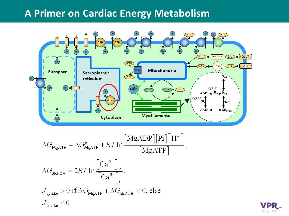A Primer on Cardiac Energy Metabolism Mitochondria Sacroplasmic reticulum Cytoplasm Myofilaments P XB AM1 XB PreR AM2 N XB MgATP MgADP PiPi ATP ADP PiPi + Ca 2+ Na + Ca 2+ Na + K+K+ Ca 2+ Na + K+K+ ATP Ca 2+ ATP K+K+ Na + Ca 2+ ATP Ca 2+ Subspace GLUT Glc FATP FFA Glycolysis FACS Pyr FACoA H+H+ Na + Cl - HCO 3 - OH - Cl - HCO 3 - Na + MAS NAD NADH
