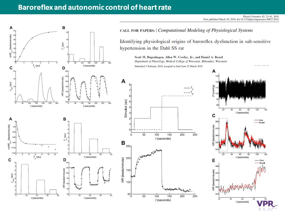 Baroreflex and autonomic control of heart rate
