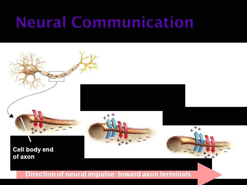 Cell body end of axon Direction of neural impulse: toward axon terminals