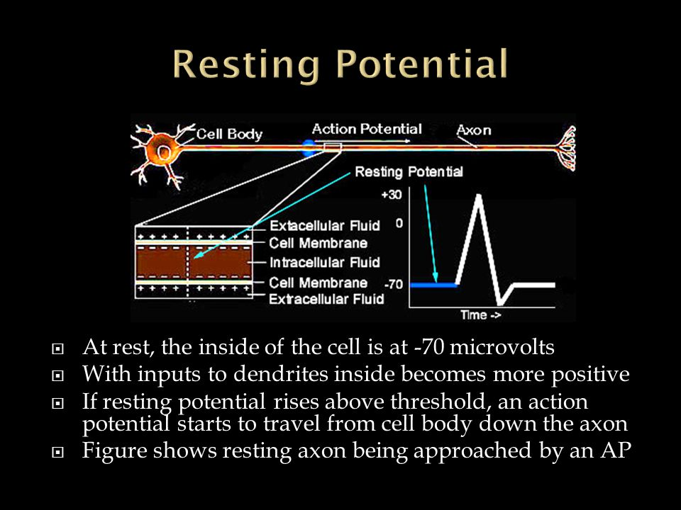  At rest, the inside of the cell is at -70 microvolts  With inputs to dendrites inside becomes more positive  If resting potential rises above thre