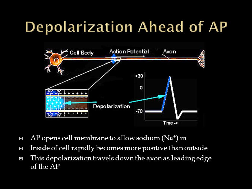  AP opens cell membrane to allow sodium (Na + ) in  Inside of cell rapidly becomes more positive than outside  This depolarization travels down the