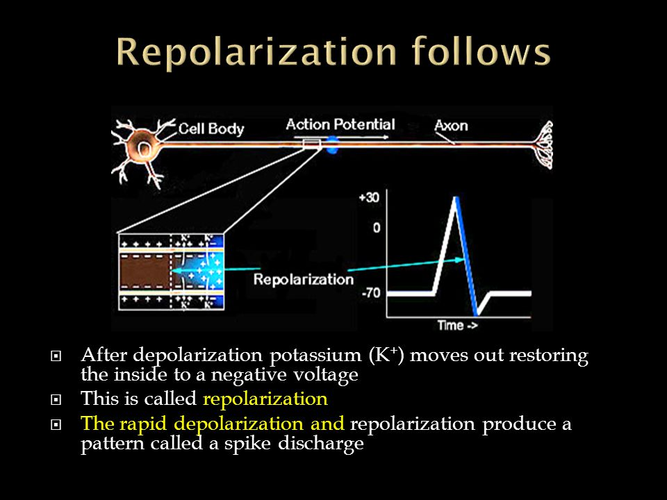  After depolarization potassium (K + ) moves out restoring the inside to a negative voltage  This is called repolarization  The rapid depolarization and repolarization produce a pattern called a spike discharge