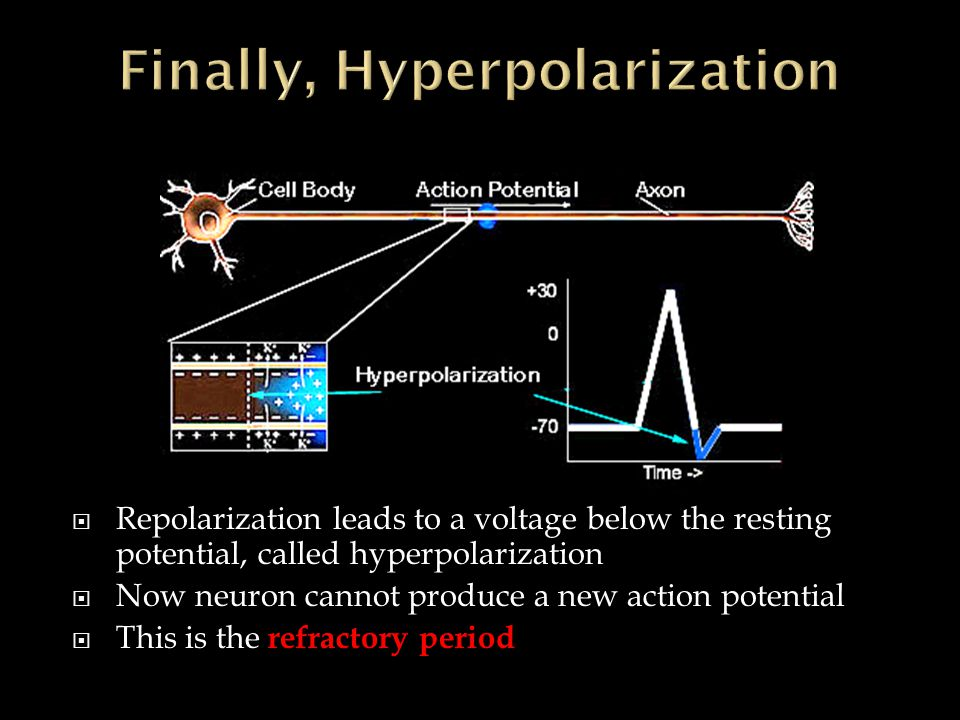  Repolarization leads to a voltage below the resting potential, called hyperpolarization  Now neuron cannot produce a new action potential  This is the refractory period