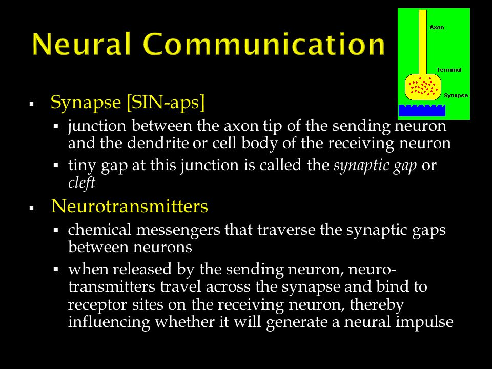  Synapse [SIN-aps]  junction between the axon tip of the sending neuron and the dendrite or cell body of the receiving neuron  tiny gap at this jun