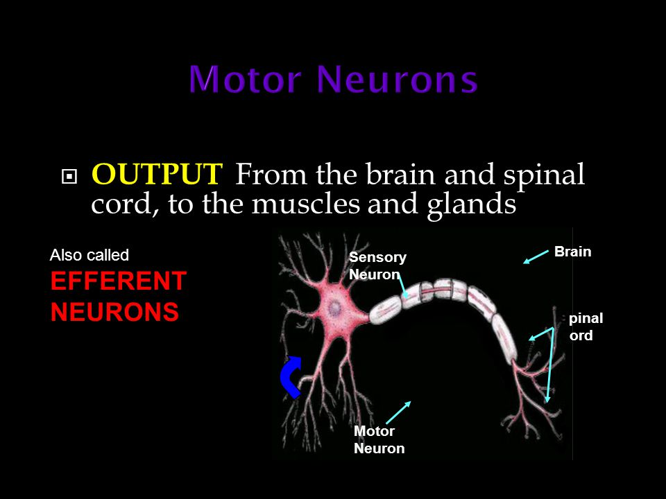 Spinal Cord Brain Sensory Neuron Motor Neuron  OUTPUT From the brain and spinal cord, to the muscles and glands Also called EFFERENT NEURONS