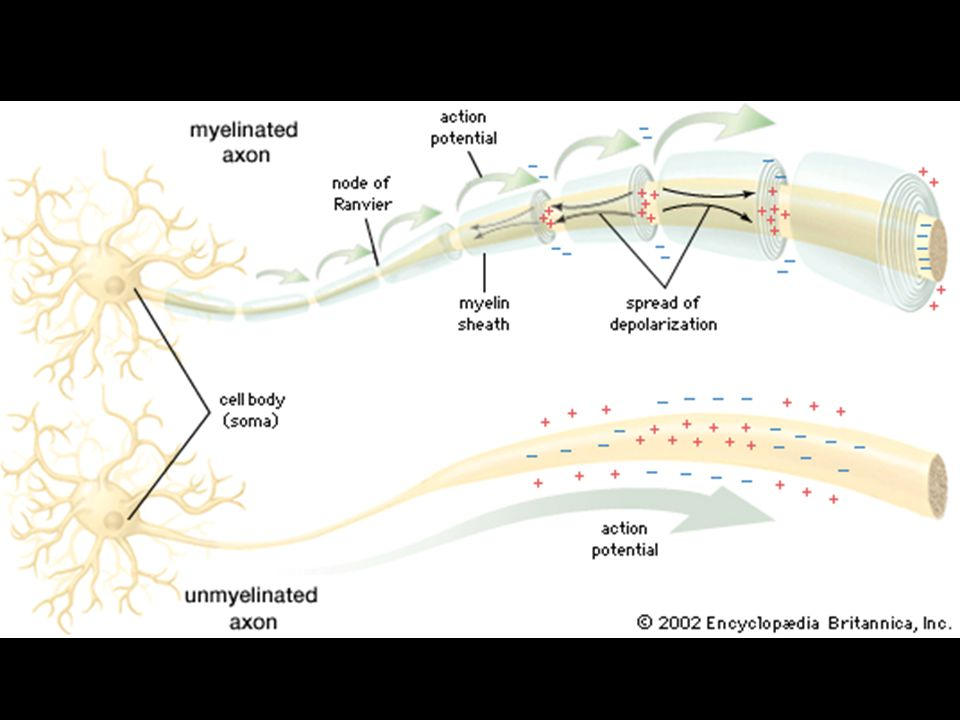  Information collectors  Receive inputs from neighboring neurons  Inputs may number in thousands  If enough inputs the cell's AXON may generate an output