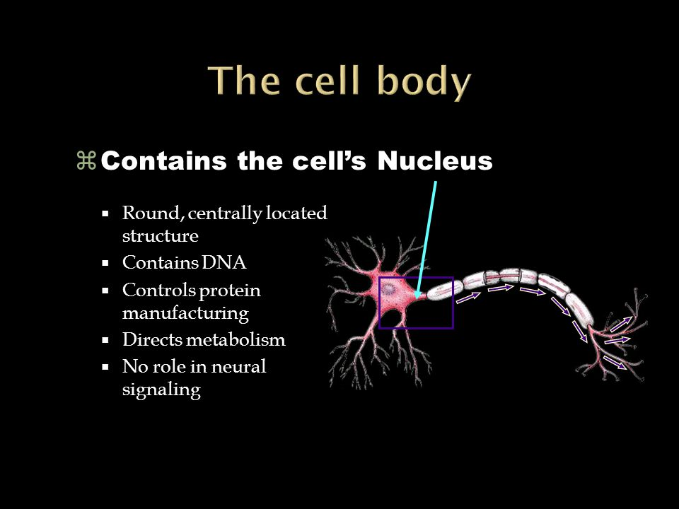 Spinal Cord Brain Sensory Neuron Motor Neuron  OUTPUT From the brain and spinal cord, to the muscles and glands Also called EFFERENT NEURONS