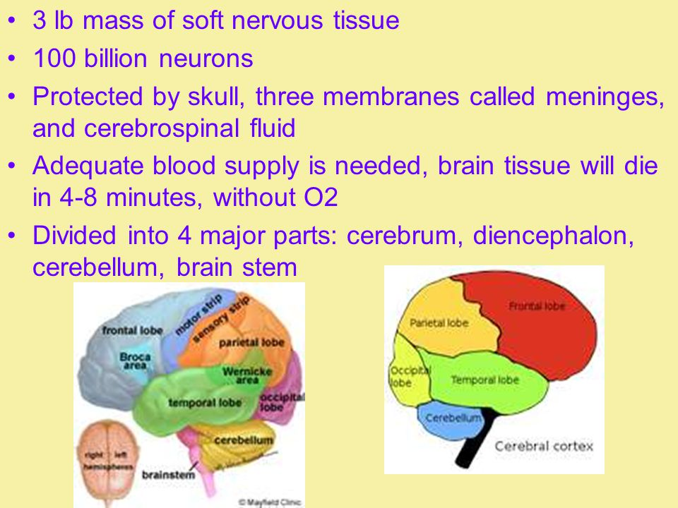 3 lb mass of soft nervous tissue 100 billion neurons Protected by skull, three membranes called meninges, and cerebrospinal fluid Adequate blood suppl