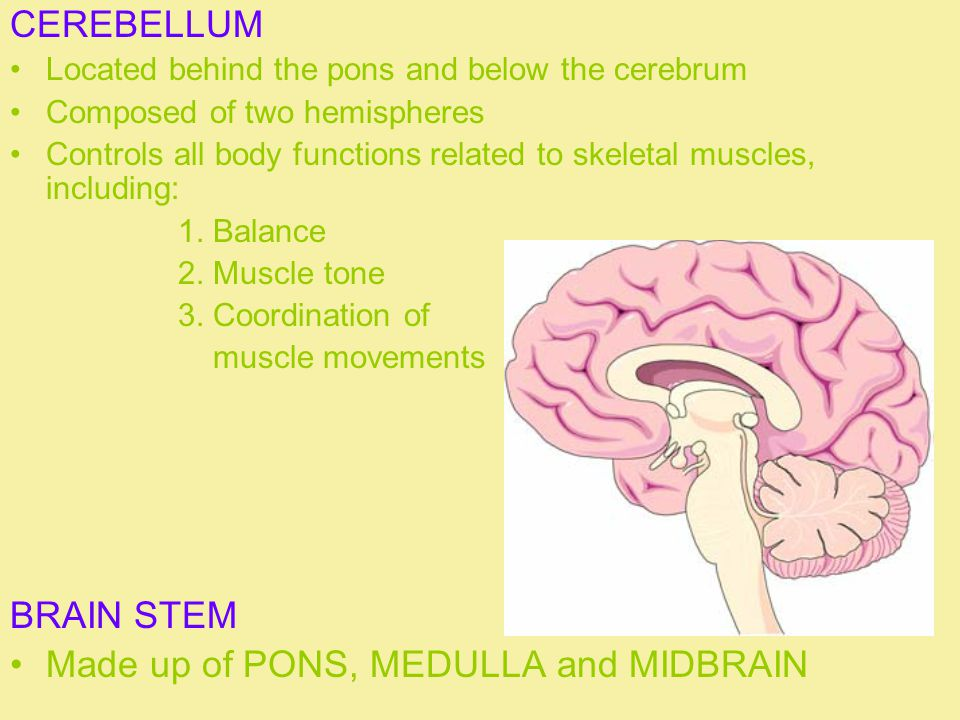 CEREBELLUM Located behind the pons and below the cerebrum Composed of two hemispheres Controls all body functions related to skeletal muscles, including: 1.