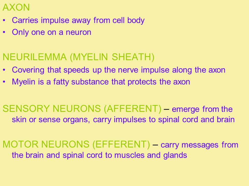 AXON Carries impulse away from cell body Only one on a neuron NEURILEMMA (MYELIN SHEATH) Covering that speeds up the nerve impulse along the axon Myelin is a fatty substance that protects the axon SENSORY NEURONS (AFFERENT) – emerge from the skin or sense organs, carry impulses to spinal cord and brain MOTOR NEURONS (EFFERENT) – carry messages from the brain and spinal cord to muscles and glands