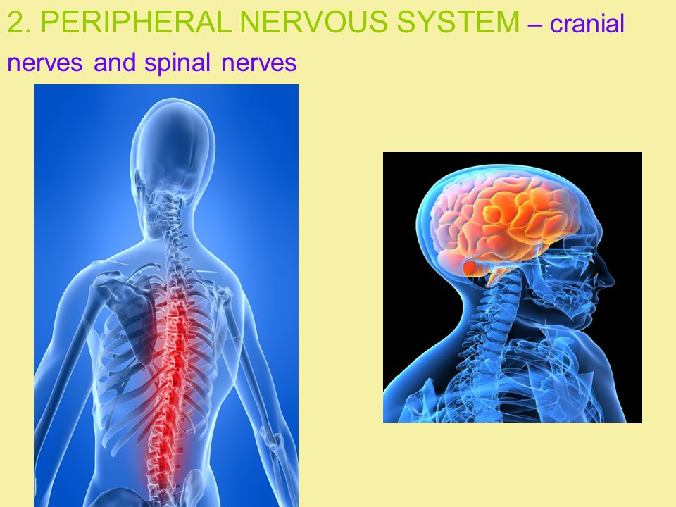 2. PERIPHERAL NERVOUS SYSTEM – cranial nerves and spinal nerves