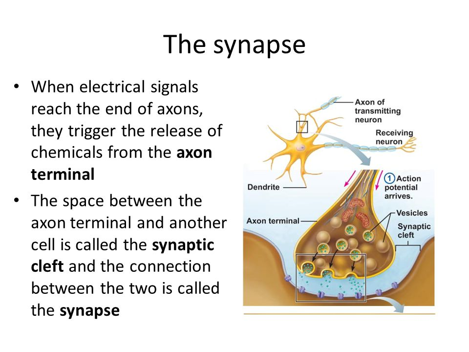 The synapse When electrical signals reach the end of axons, they trigger the release of chemicals from the axon terminal The space between the axon terminal and another cell is called the synaptic cleft and the connection between the two is called the synapse