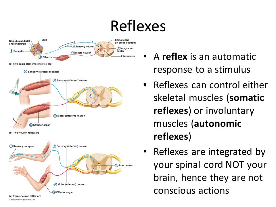 Reflexes A reflex is an automatic response to a stimulus Reflexes can control either skeletal muscles (somatic reflexes) or involuntary muscles (autonomic reflexes) Reflexes are integrated by your spinal cord NOT your brain, hence they are not conscious actions
