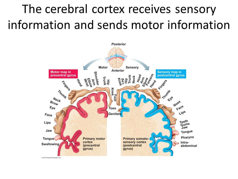 The cerebral cortex receives sensory information and sends motor information