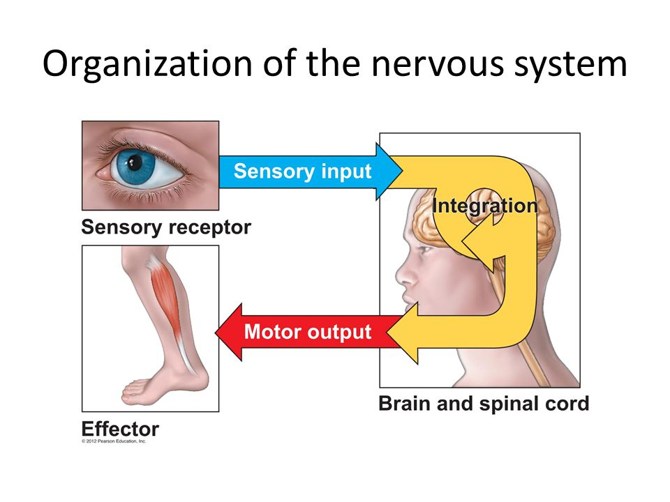 Our responses to stimuli may be voluntary or involuntary or both Example: in response to low blood pressure, you may contract smooth muscles to decrease the diameter of your blood vessels, AND feel thirsty, causing you to take a drink