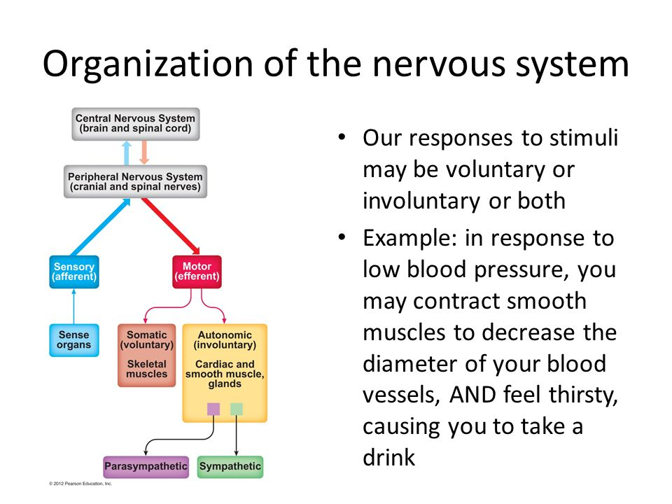Central and peripheral nervous systems Your central nervous system (CNS) consists of your brain & spinal cord Your peripheral nervous system (PNS) consists of all the nerves that carry information to and from your CNS