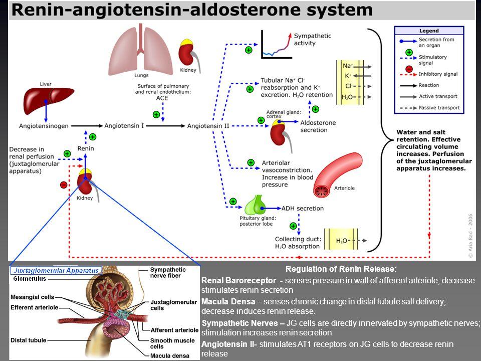 Angiotensinogen Renin Angiotensin I (Inactive) Blood Pressure Kininogen Kallikrein Bradykinin Kinin B2 Receptor Vasodilation Na+ Excretion Bradykinin(1-7) (Inactive) ACE Inhibitors Mechanism of Action of ACE Inhibitors Angiotensin II AT1 Receptor Vasoconstriction Aldosterone release Na+ Retention Pro-inflammatory Oxidative stress Proliferation of Sm.