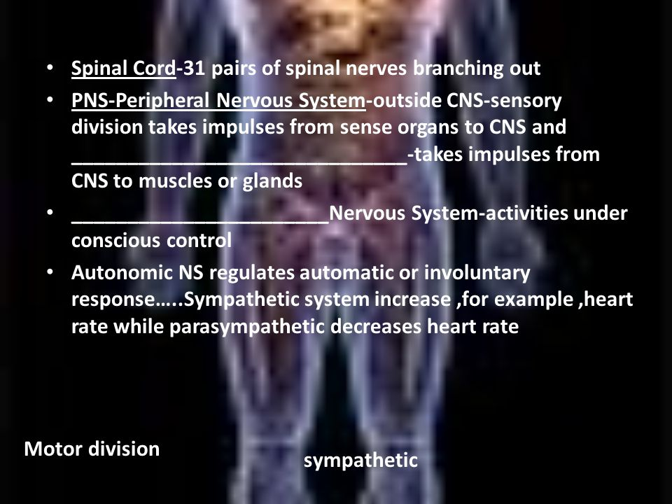 Spinal Cord-31 pairs of spinal nerves branching out PNS-Peripheral Nervous System-outside CNS-sensory division takes impulses from sense organs to CNS and ______________________________-takes impulses from CNS to muscles or glands _______________________Nervous System-activities under conscious control Autonomic NS regulates automatic or involuntary response…..Sympathetic system increase,for example,heart rate while parasympathetic decreases heart rate Motor division sympathetic