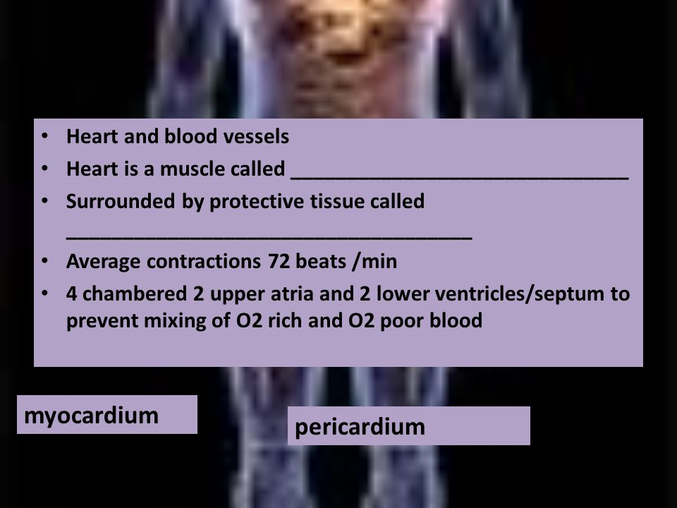 Heart and blood vessels Heart is a muscle called ______________________________ Surrounded by protective tissue called ____________________________________ Average contractions 72 beats /min 4 chambered 2 upper atria and 2 lower ventricles/septum to prevent mixing of O2 rich and O2 poor blood myocardium pericardium
