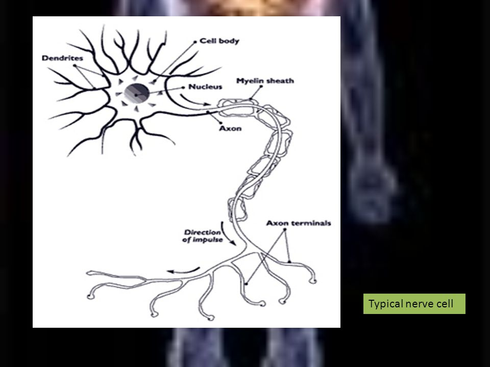 Typical nerve cell