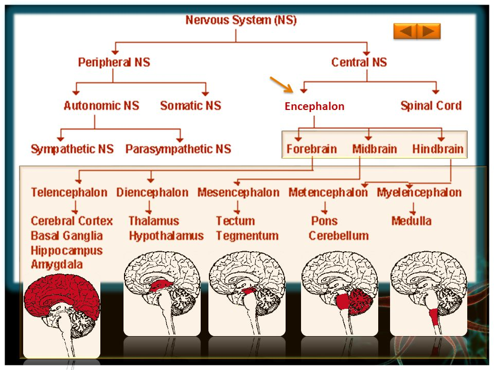 Central Nervous System The Central Nervous System controls everything in the body.
