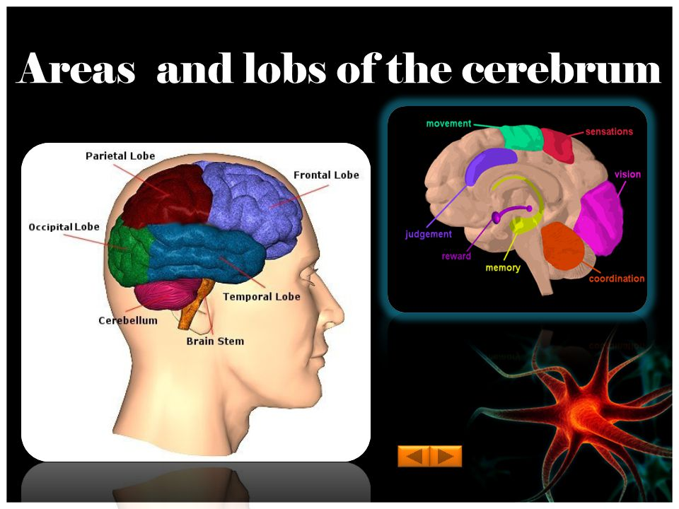 Areas and lobs of the cerebrum