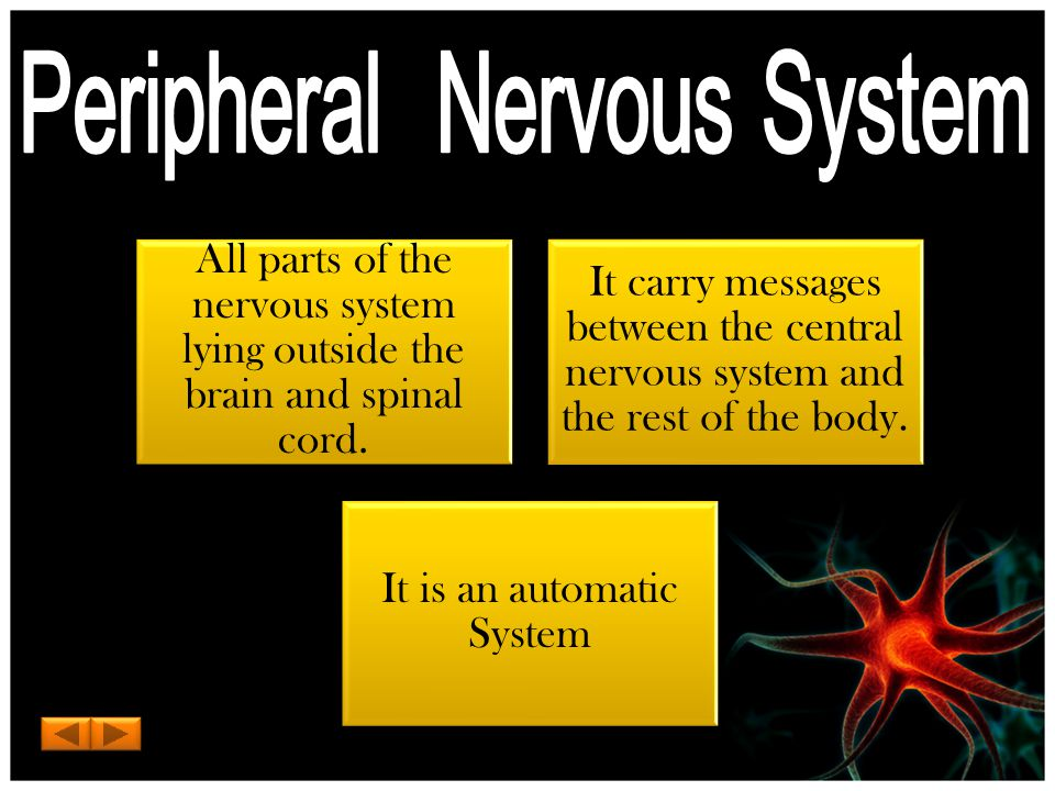 All parts of the nervous system lying outside the brain and spinal cord.