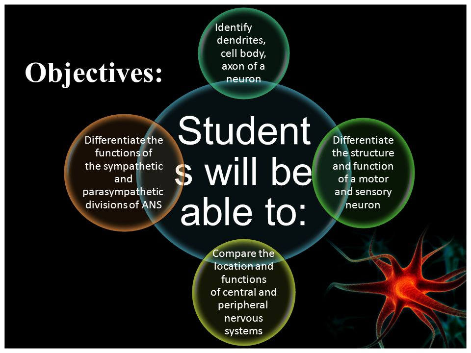 Objectives: Student s will be able to: Identify dendrites, cell body, axon of a neuron Differentiate the structure and function of a motor and sensory neuron Compare the location and functions of central and peripheral nervous systems Differentiate the functions of the sympathetic and parasympathetic divisions of ANS