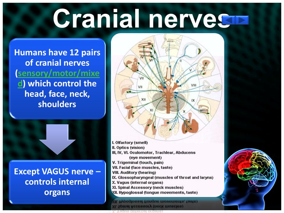 Cranial Nerves and Spinal Nerves