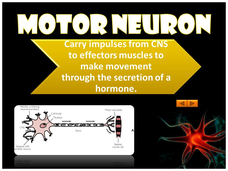 Carry impulses from pain receptors in the skin to the central nervous system (brain and spinal cord)