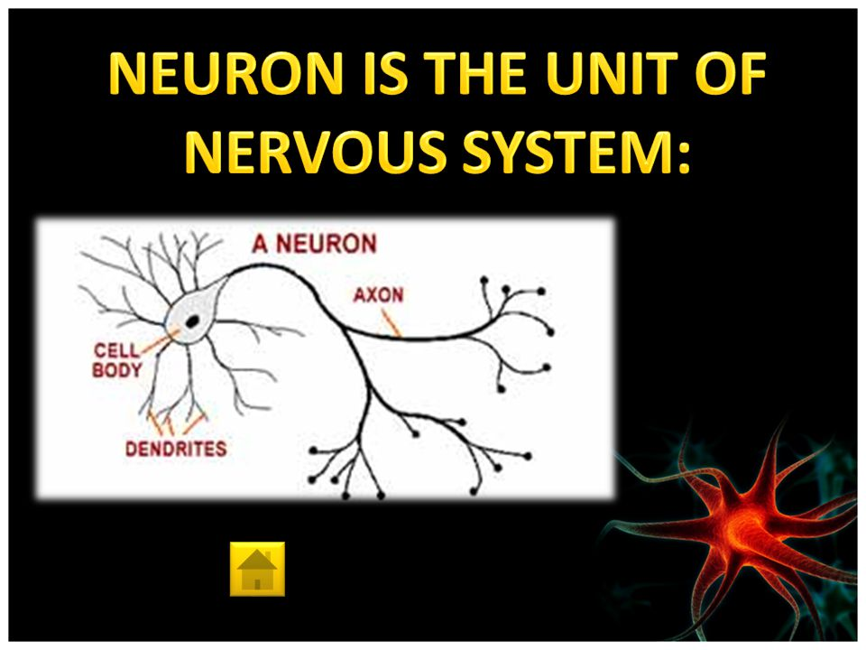 Nervous System Interesting Facts Main parts Unit of Nervous System Division Central Nervous System Peripheral Nervous System Function Encephalon Spinal Cord Autonomic Nervous System Sense Organs Sympathetic Nervous System Parasymphatetic Nervous System Cranial and Spinal Nerves Somatic Nervous System