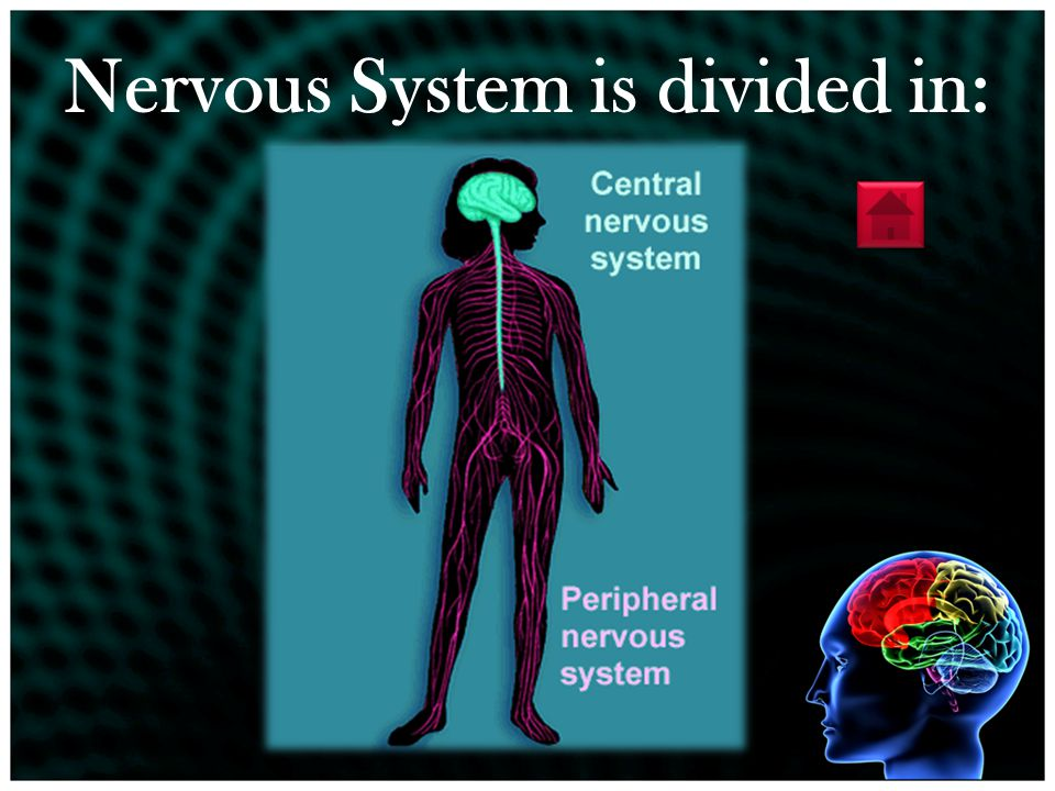 The nervous system is made of: The encephalon **The nerves The spinal cordThe senses