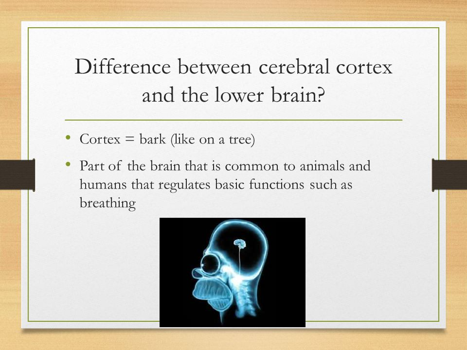 Difference between cerebral cortex and the lower brain? Cortex = bark (like on a tree) Part of the brain that is common to animals and humans that reg